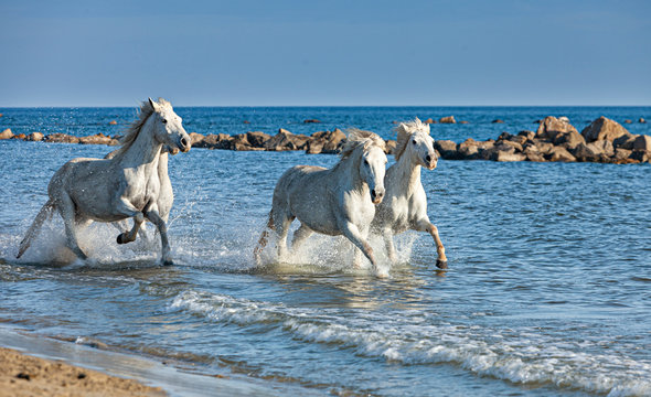 white horses galloping on the edge of the sea