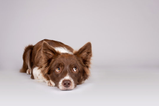 Red and white border collie dog lying on grey background