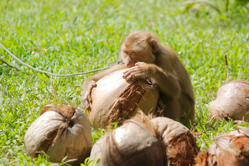 macaque monkey is peeling the coconut