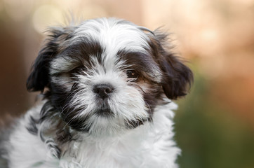 little cute puppy shih tzu lovely dog portrait