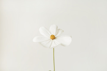 Foto auf Leinwand Blumen Minimal styled concept. White daisy chamomile flower against white background. Copy space. Creative lifestyle summer, spring concept.