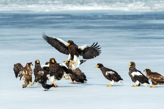 Flock of Stelle sea eagles and white-tailed eagles fighting over fish on frozen lake, Hokkaido, Japan, majestic sea raptors with big claws and beaks, wildlife scene from nature,birding adventure Asia