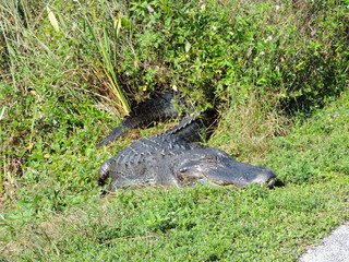 Alligator along Tram Road Trail to Shark Valley Observation Tower in Everglades National Park in Florida