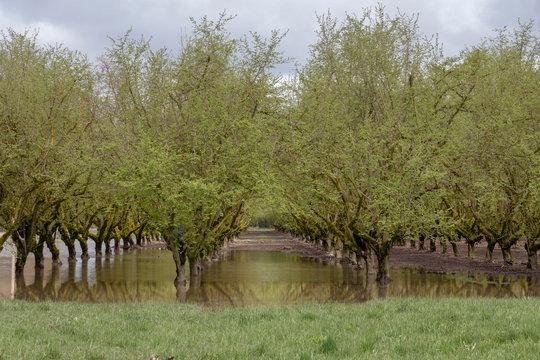 Flooded hazelnut (filbert) orchard in the Willamette Valley near Albany, Oregon.