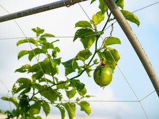raw and fresh passion fruit on the tree