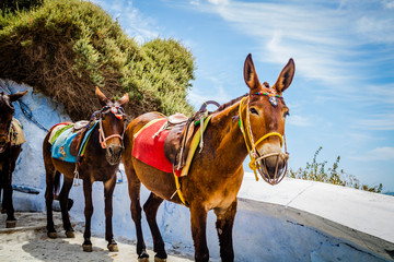Tuinposter Ezel Donkeys for a ride on Santorini island, Greece
