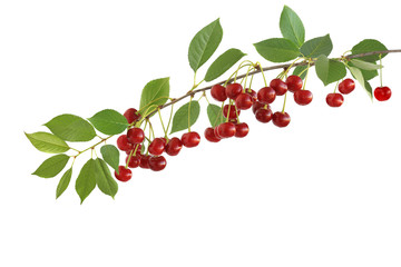 The branch of tasty sour cherries isolated on a white background
