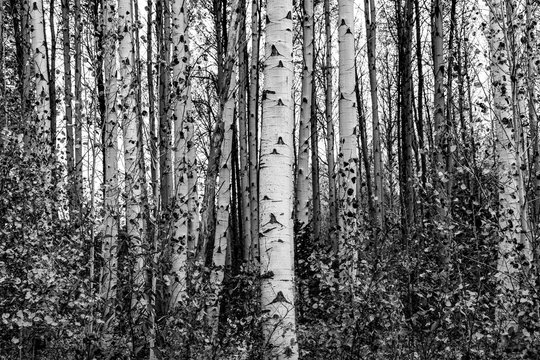 Grove of aspen trees in black and white