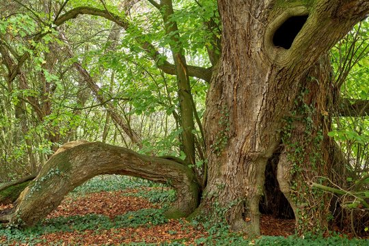 A very old large-leaved lime tree (Tilia platyphyllos)