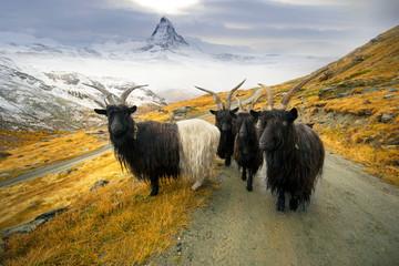 Animals under the Matterhorn