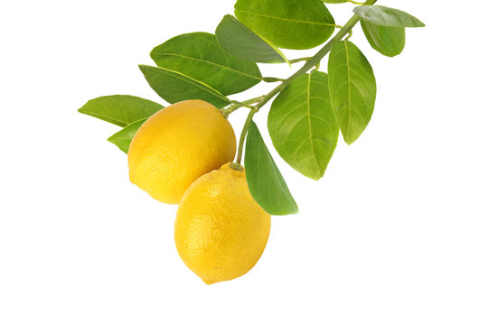 Branch of lemons  isolated on white background