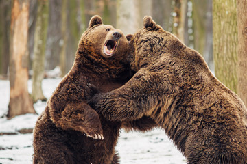 Brown bear fight in the forest Wall mural