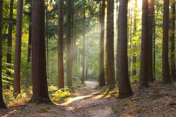 Beautiful forest in autumn with sun rays appearing in the moist air