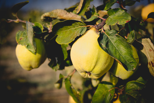 Fresh ripe quince hanging on a branch in the orchard