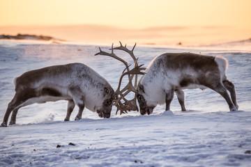Renifery na Spitsbergenie - fototapety na wymiar