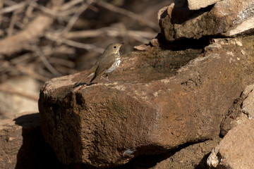 Hermit Thrush at water in rock in Texas