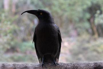 Black currawong endemic bird in Tasmania
