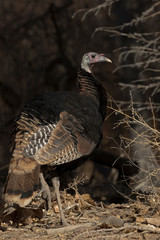 Autumn turkey pauses at forest edge