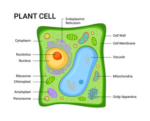 Illustration of the Plant cell anatomy structure. Vector infographic with nucleus, mitochondria, endoplasmic reticulum, golgi apparatus, cytoplasm,  wall membran