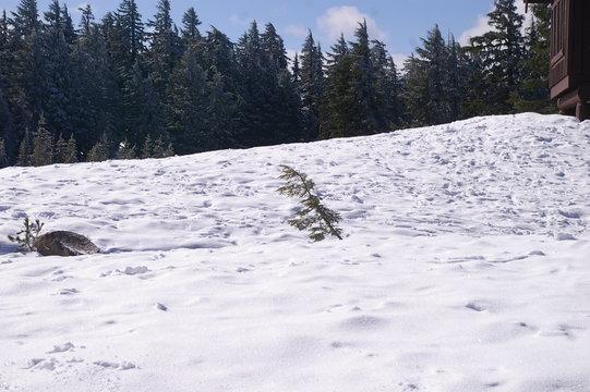 Little Tree Against Snowpack