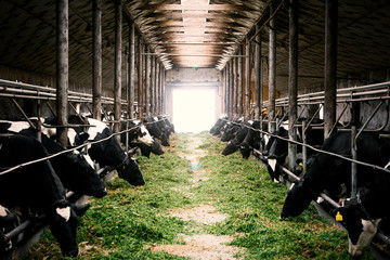 Black and white cows in a farm cowshed eating green grass