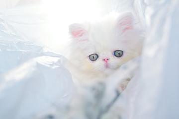 cute christmas white persian baby cat kitten