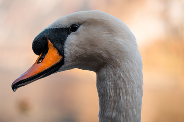 Foto op Aluminium Zwaan Amazing swan close up image, Cygnus close up photography