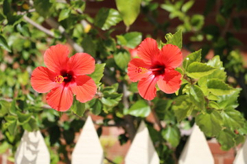 Garden hedge of red blooming Hibiscus in Australia