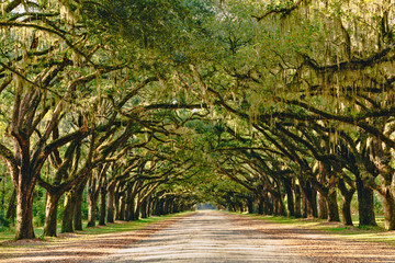 A stunning, long path lined with ancient live oak trees draped in spanish moss