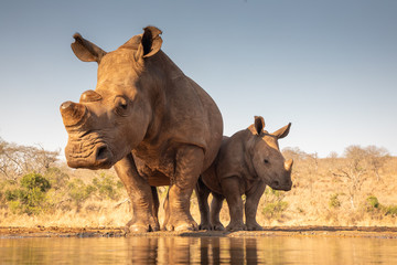Mother and baby rhino getting ready to drink