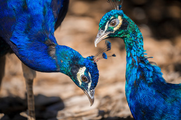 This close up image captures two beautiful peacock birds together in nature with vibrant colors.