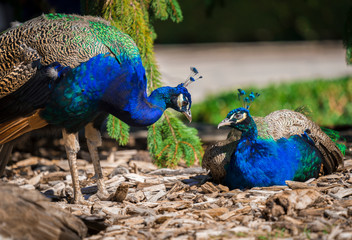 This image captures two beautiful peacock birds together in nature with vibrant colors.
