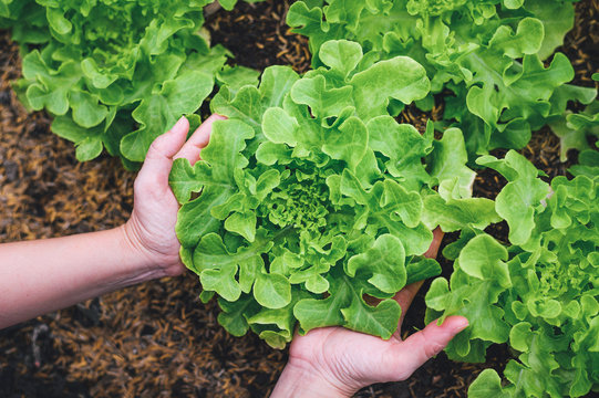 woman hands picking green lettuce in vegetable garden