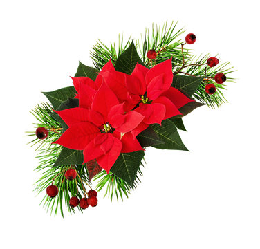 Twigs of Christmas tree with poinsettia flowers and red berries
