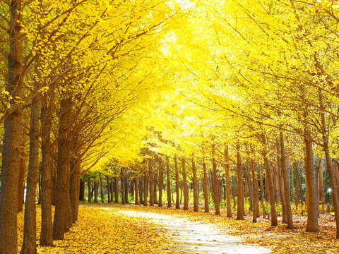 北海道の秋風景 美しいイチョウ並木
