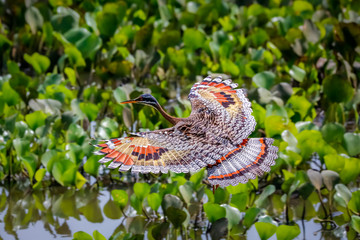 High angle view of beautiful Sunbittern in flight against green background with wonderful patterned spread wings, Pantanal Wetlands, Mato Grosso, Brazil