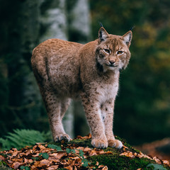 lynx on a rock, standing in forest