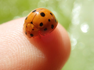 Asian bettle or known as lady bug
