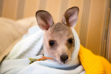Papiers peints Kangaroo Rescued Kangaroo in an Orphanage in Australia