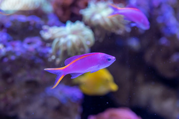 Wall Mural - Yellowstriped fairy basslet (Pseudanthias tuka) in reef aquarium