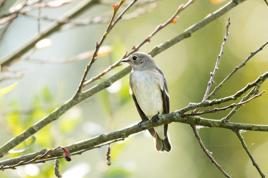 A flycatcher watching from a tree