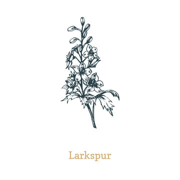 Delphinium vector illustration. Hand drawn sketch of Larkspur wild flower in engraving style. Botanical plant isolated.
