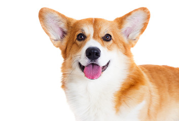 Wall Mural - welsh corgi dog smiling on a white background