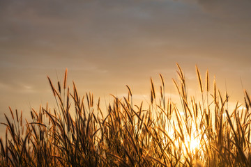 grass flower with golden time of sunset as background
