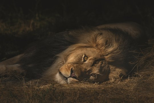 Closeup shot of a lion laying on a dry grassy field while looking towards the camera
