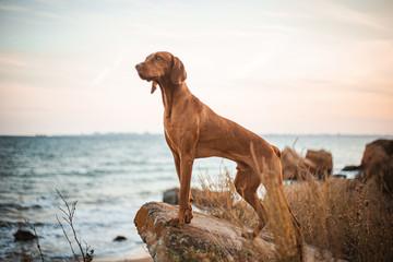 Red dog vizsla standing on the stone sea