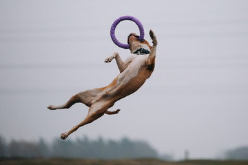 Amstaff in a jump catches a puller Wall mural