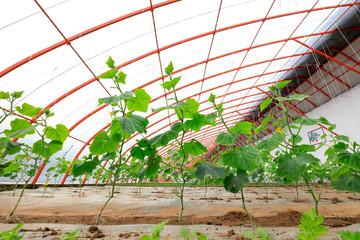 Cucumber seedlings in Greenhouse