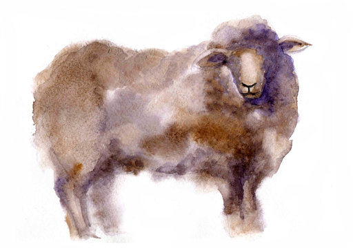 Cute watercolor sheep on the white background