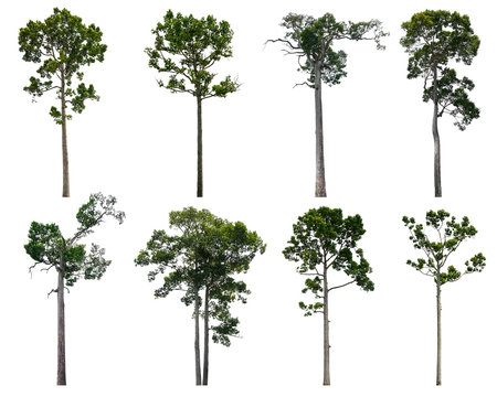 The collection dipterocarpus alatus trees isolated on white background.